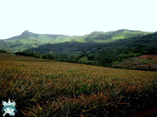 Lampang - Annanas - Plantation -
