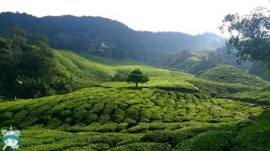 Les Cameron Highlands (et ses plantations de thé à gogo)
